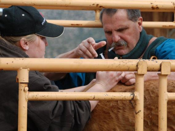 Veterinarian and assistant administering shot to bovine