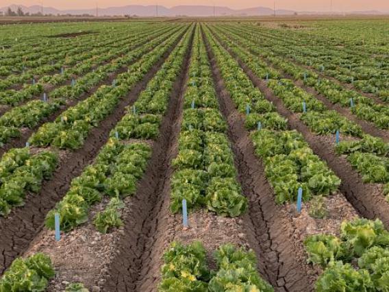 Rows of lettuce in field