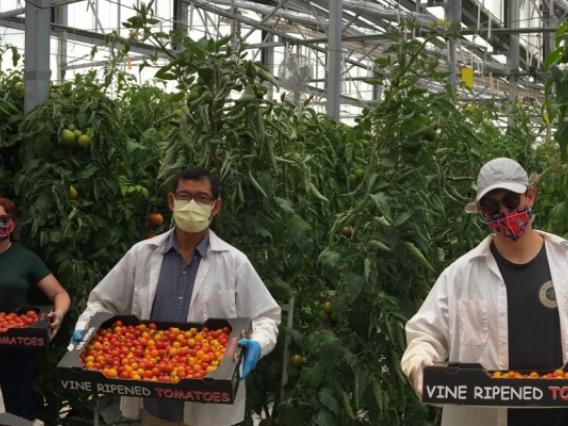 Group of men and women holding crates of tomatoes inside greenhouse