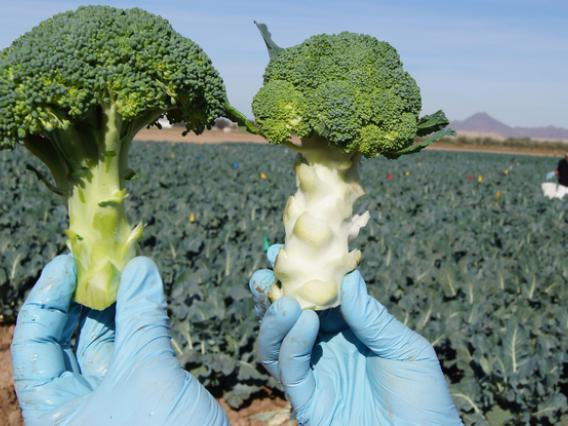Gloved hands holding two broccoli crowns
